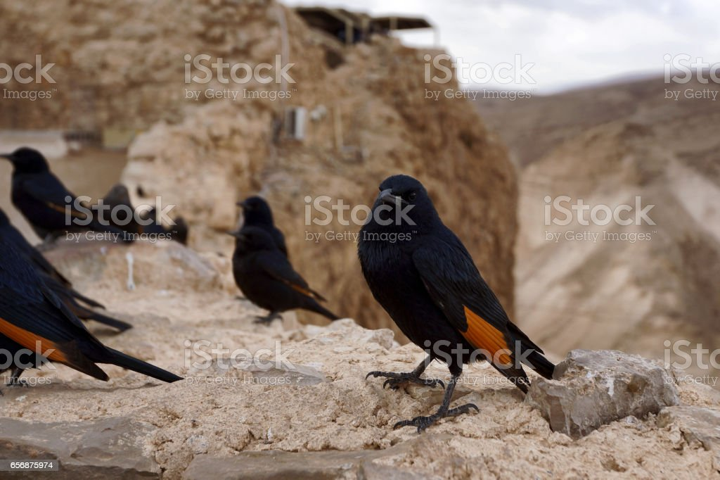 Tristram's Starling (Tristram's Grackle) Birds at Masada, Israel stock photo