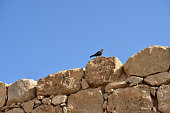 Tristram's starling on the ruins of an ancient fortress