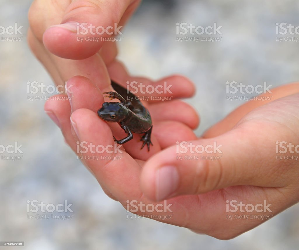 Triton amphibious animal on the hand of the child stock photo