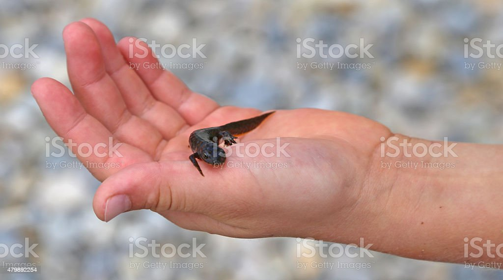 Triton amphibious animal on the hand of the kid stock photo