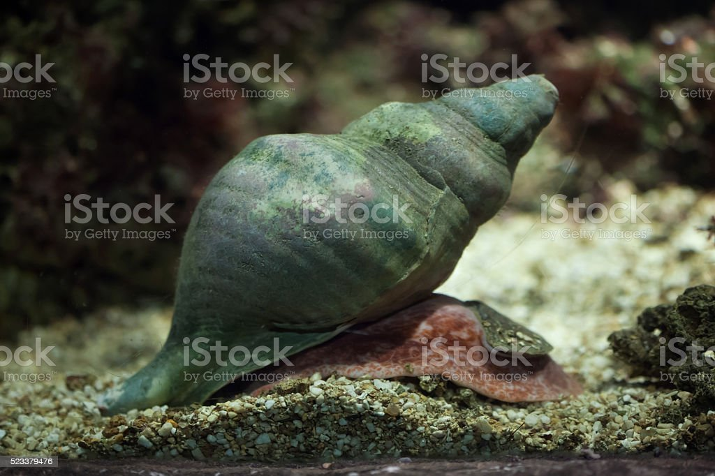 Triton's trumpet (Charonia tritonis). stock photo