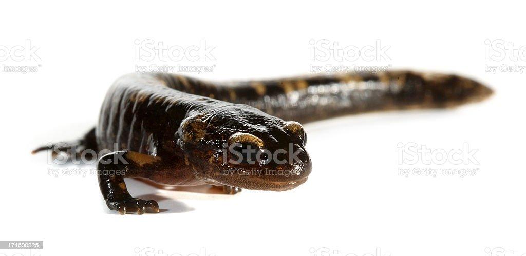 Triturus amphibian newt stock photo