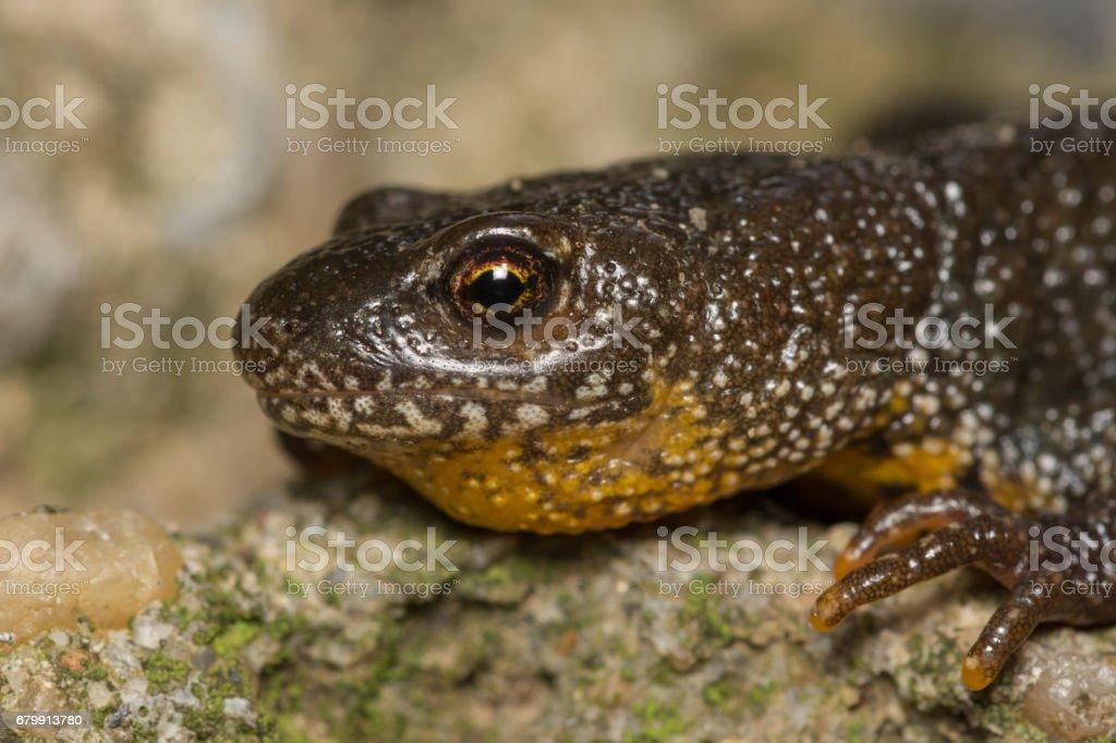Triturus Dobrogicus,The Danube crested newt stock photo