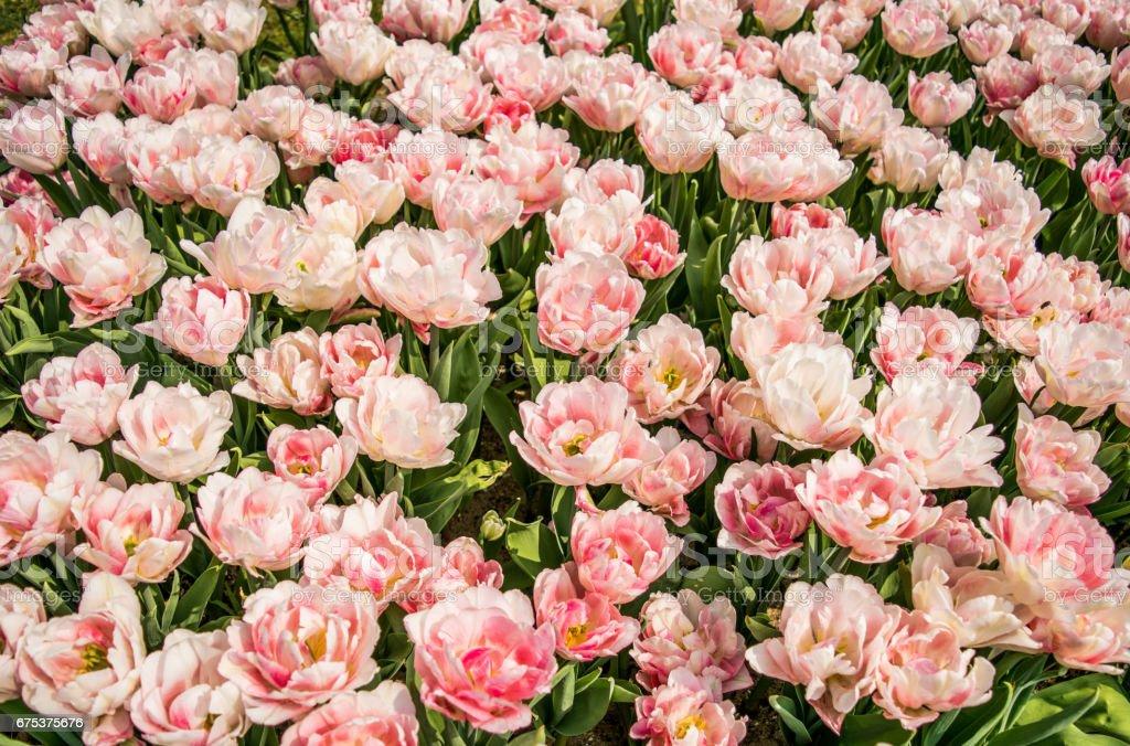 Triumph of Tulips Akela stock photo