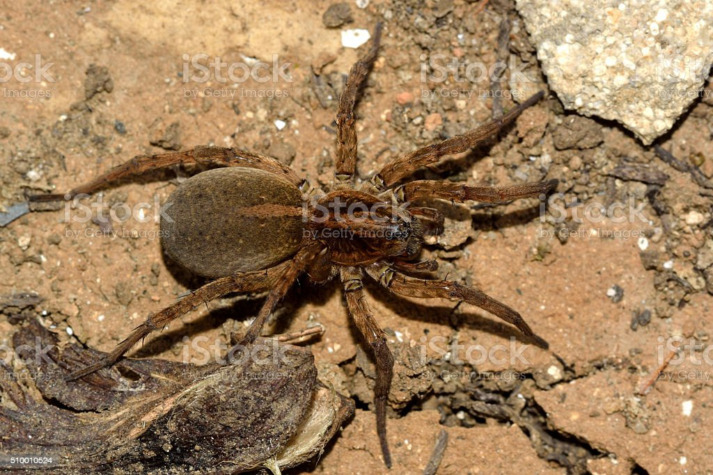 Trochosa ruricola wolf spider female from above stock photo