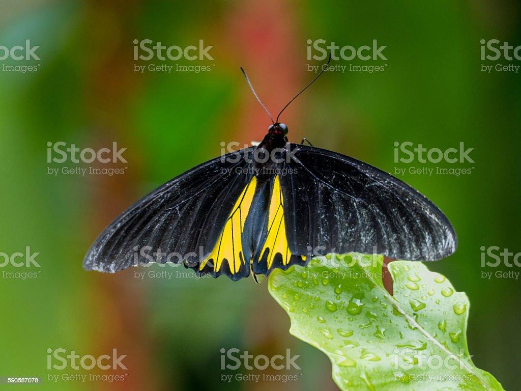 Troides minos or Southern Birdwing stock photo