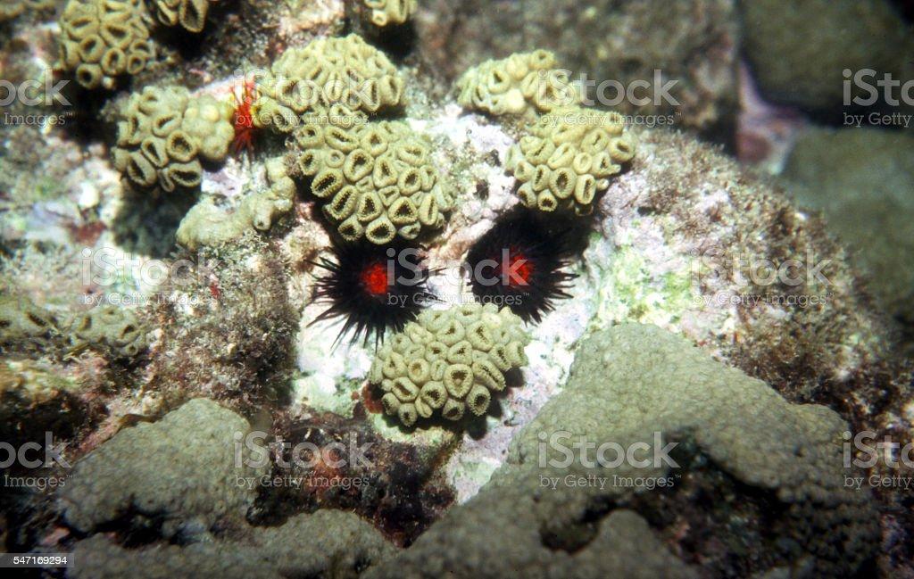 Troll, Underwater Goblin on Coral Reef in Tobago. Caribbean Sea. stock photo