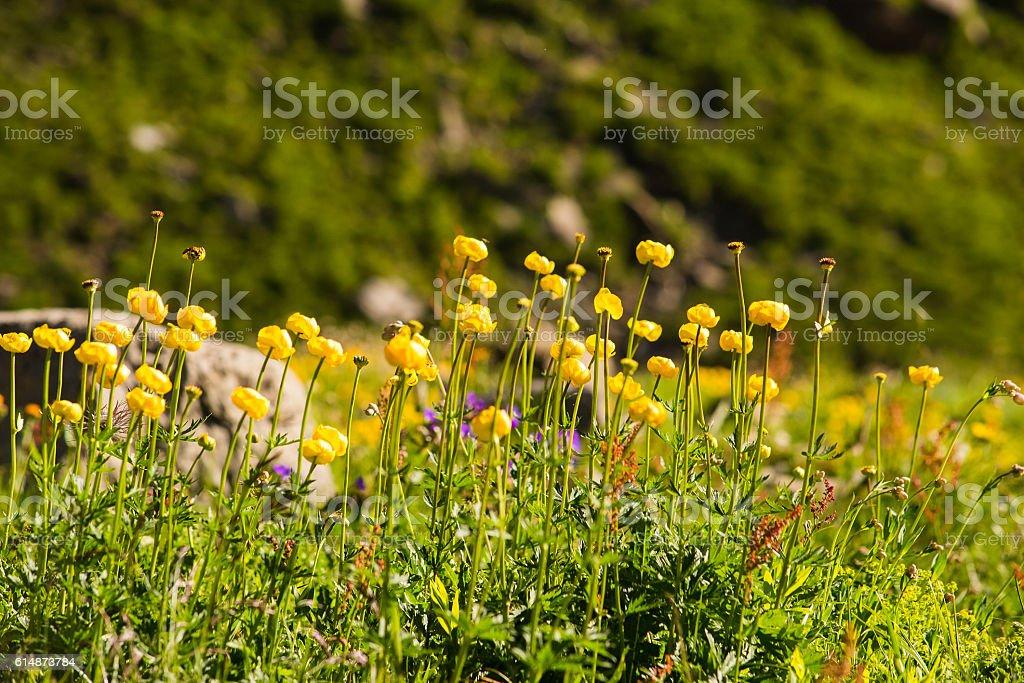 Trollblume in Swiss meadow stock photo