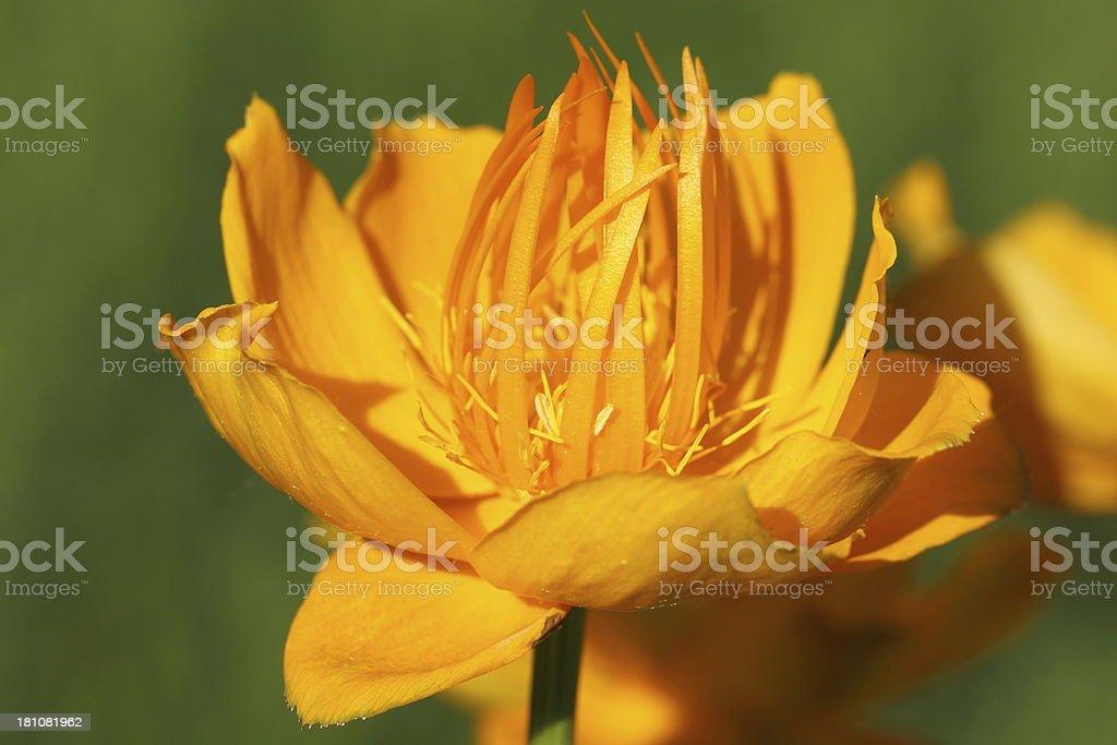 Trollius chinensis flowers stock photo