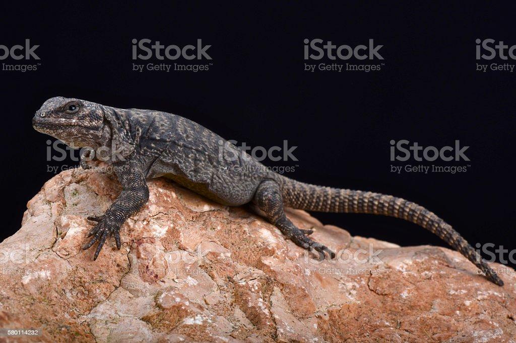 Tromen mountain lizard (Phymaturus tromen) stock photo