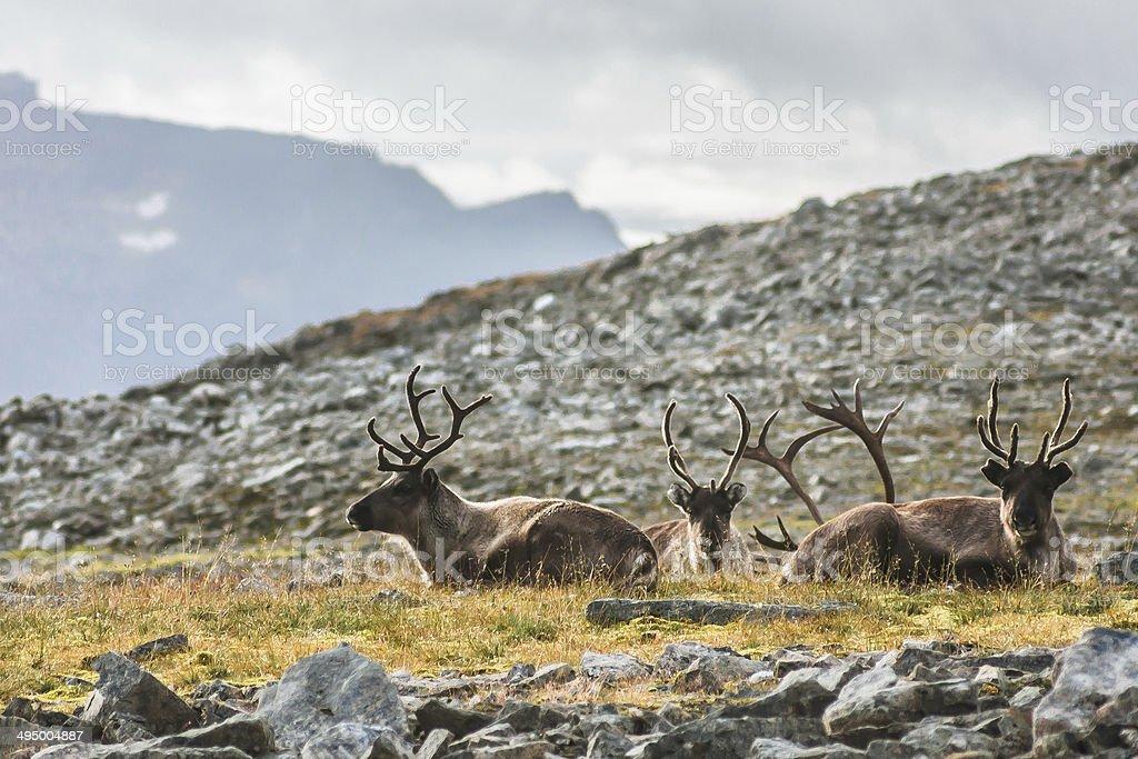 Tromso Raindeers stock photo
