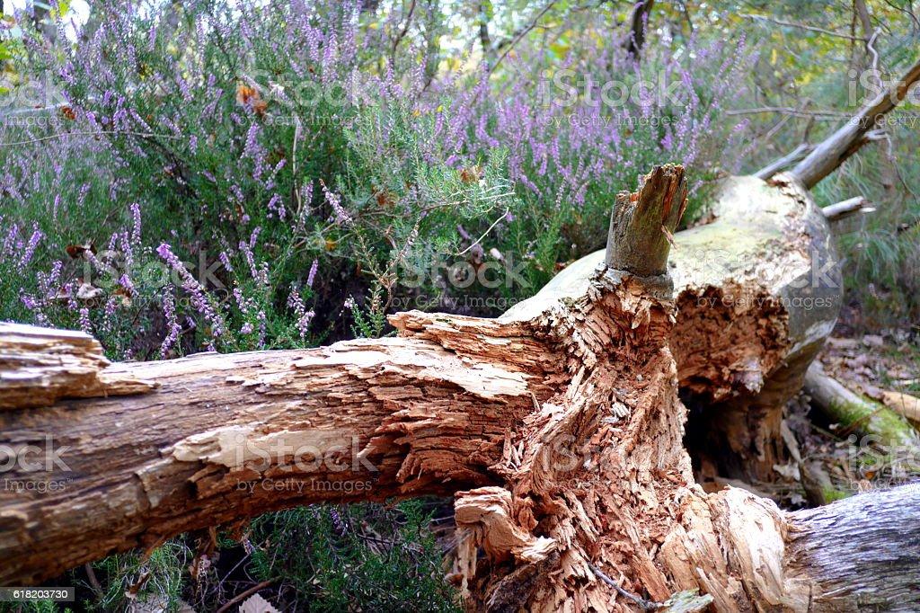 Tronc d'arbre vermoulu et bruyère en foret d'automne royalty-free stock photo