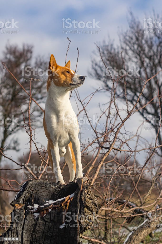 Troop leader on the tree branch looking into its acres stock photo