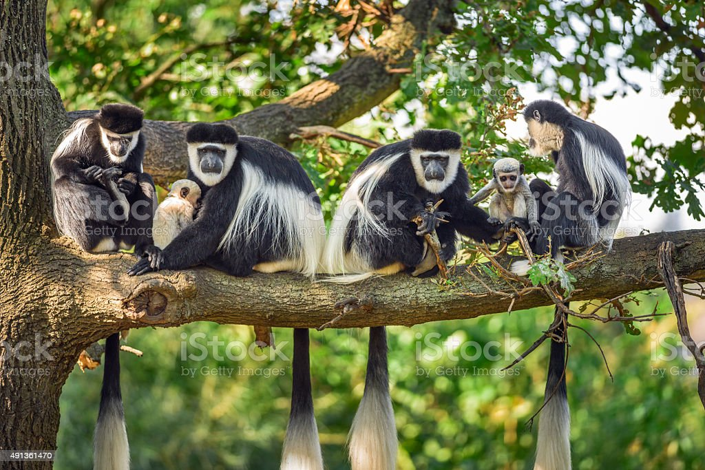 Troop of Mantled guereza monkeys with two newborns stock photo