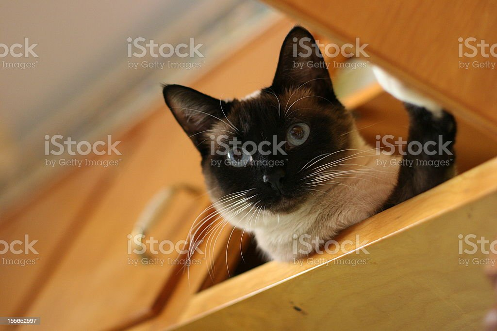 Trooper Applehead siamese cat royalty-free stock photo