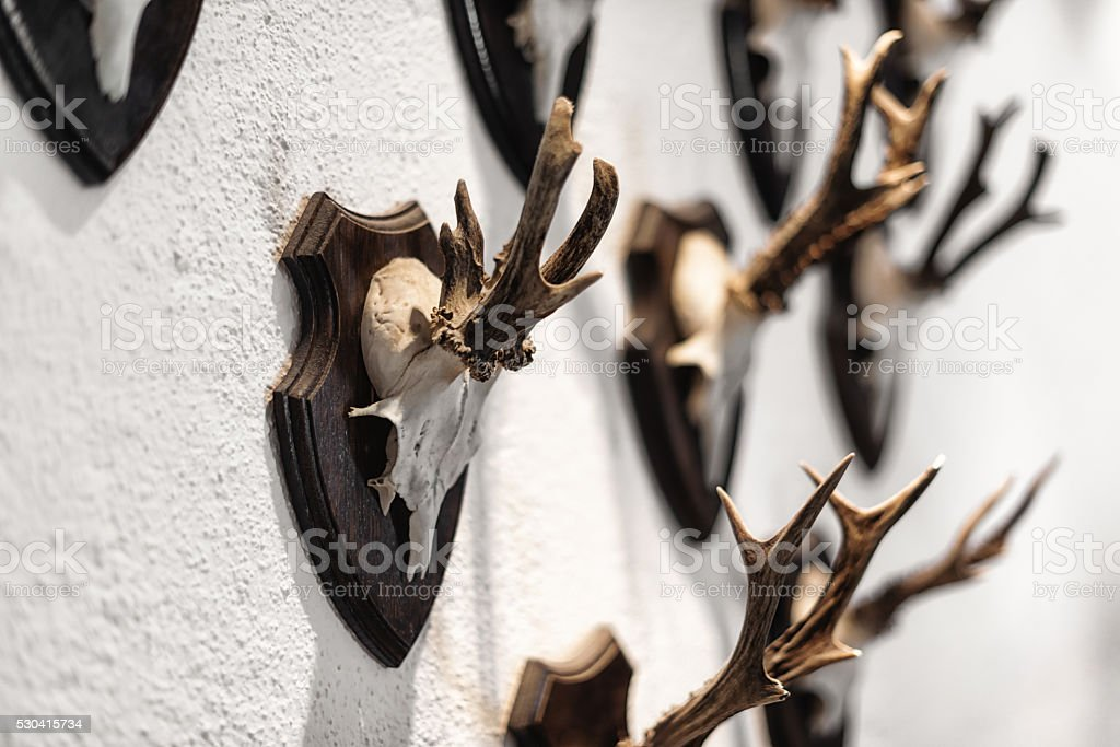 trophies from hunted chamois and deer hanging on wall stock photo