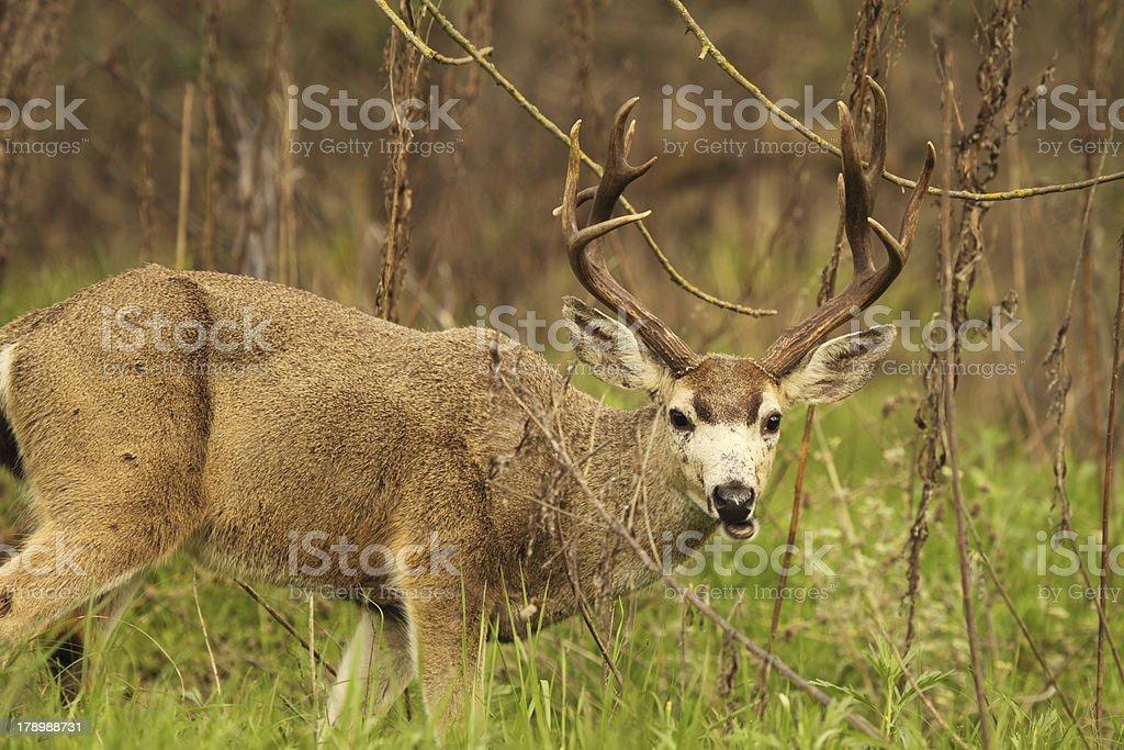 Trophy Black-tailed Deer Buck royalty-free stock photo