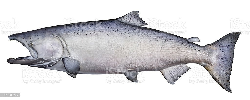 Trophy king (chinook) salmon stock photo