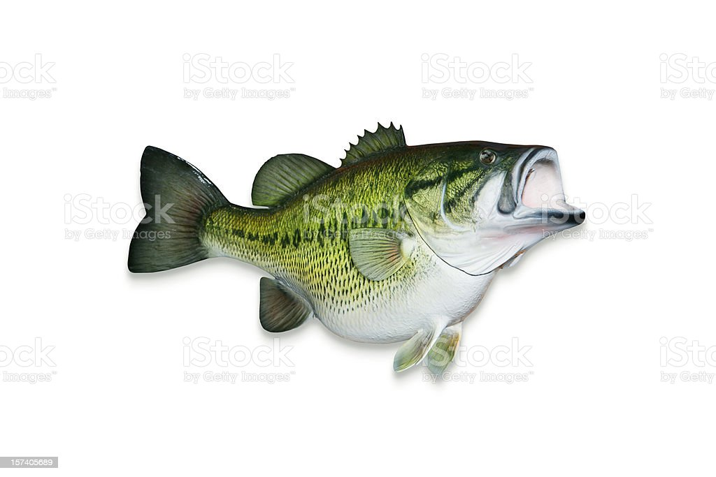 Trophy Largemouth Bass with Clipping Path royalty-free stock photo