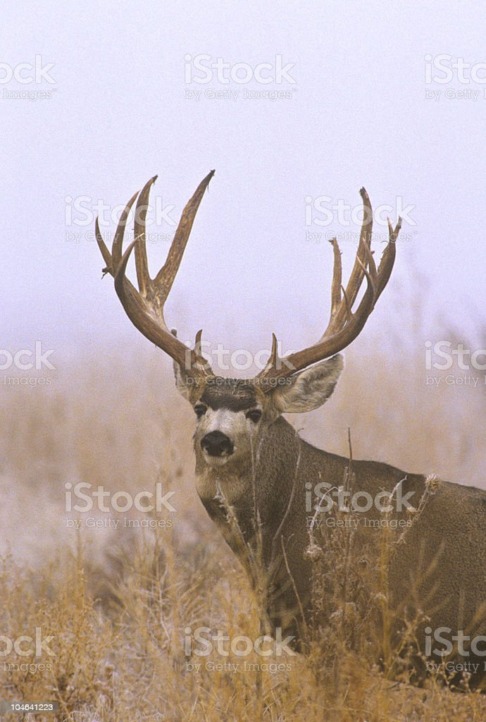 Trophy Mule Deer Buck in Fog stock photo