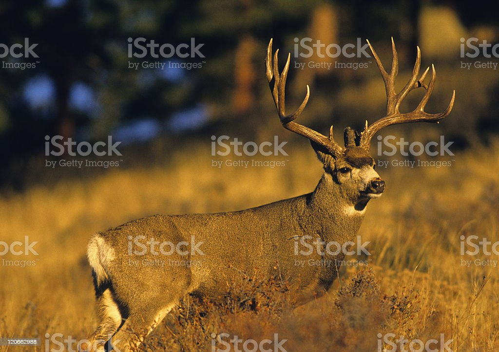 Trophy Mule Deer Buck stock photo