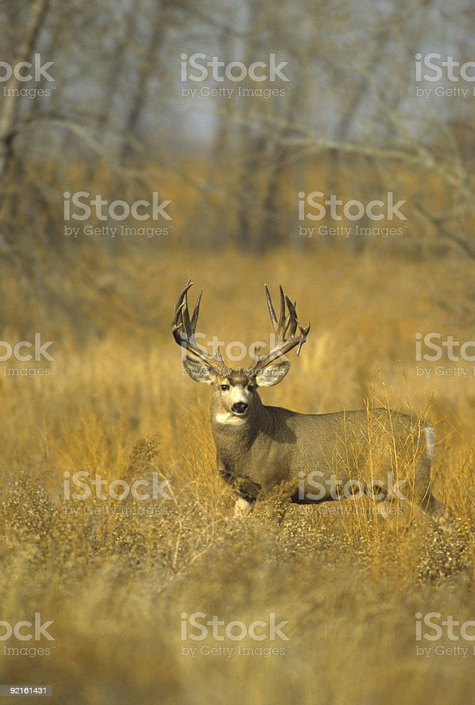 Trophy Mule Deer Buck stock photo
