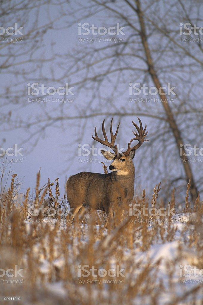 Trophy Mule Deer Buck royalty-free stock photo