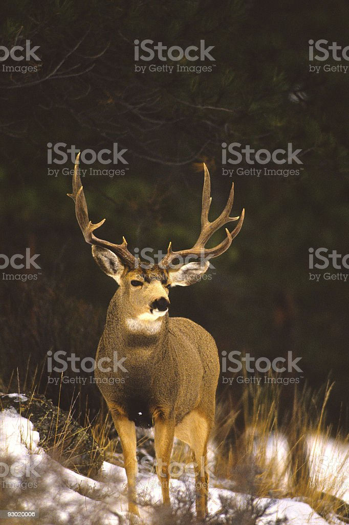 Trophy Mule Deer stock photo