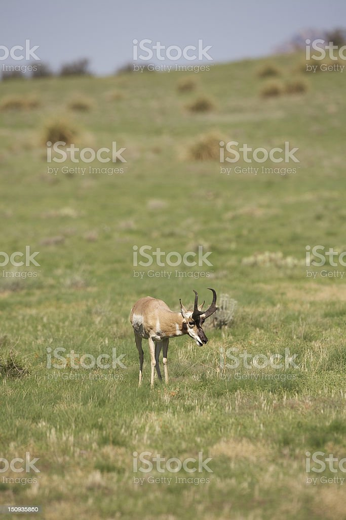 Trophy Pronghorn Antelope stock photo