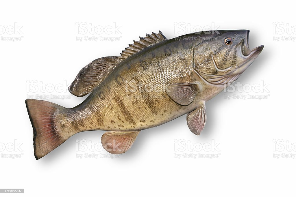 Trophy Smallmouth Bass royalty-free stock photo