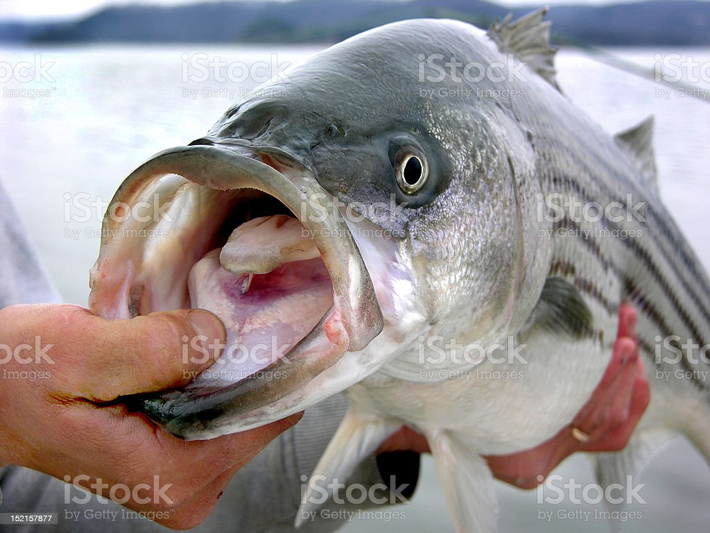 Trophy striper royalty-free stock photo