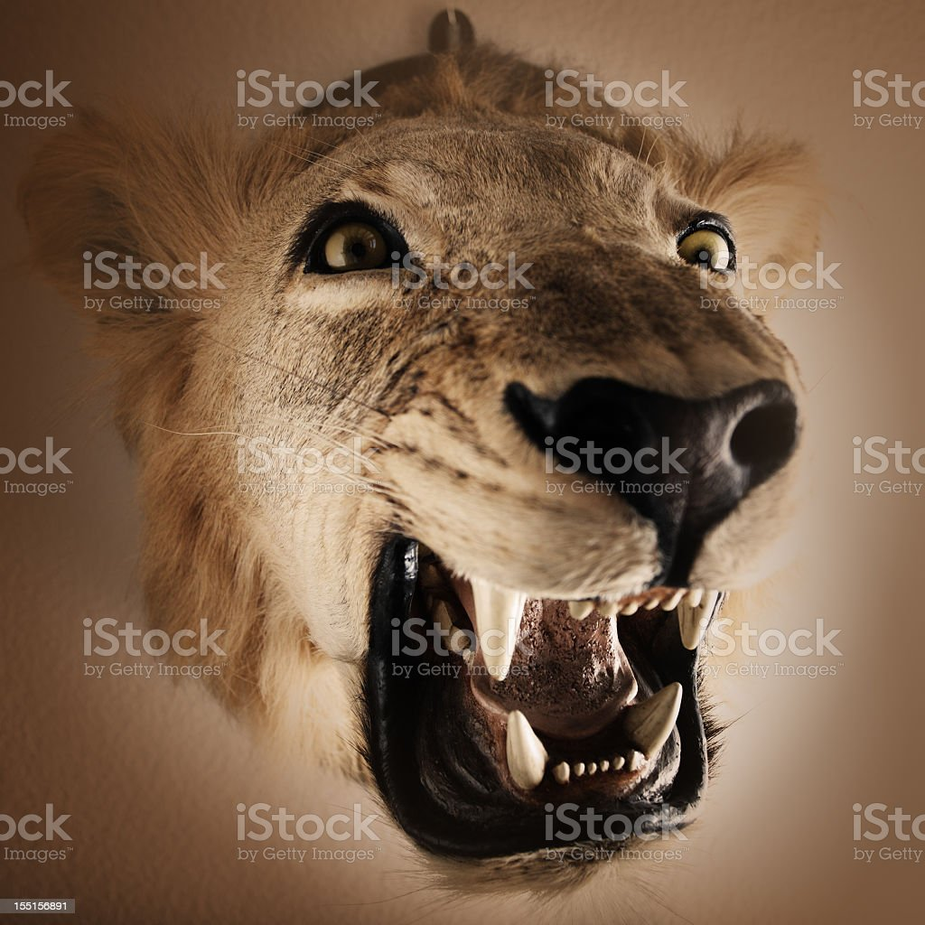 Trophy stuffed lion hanging on a wall. stock photo
