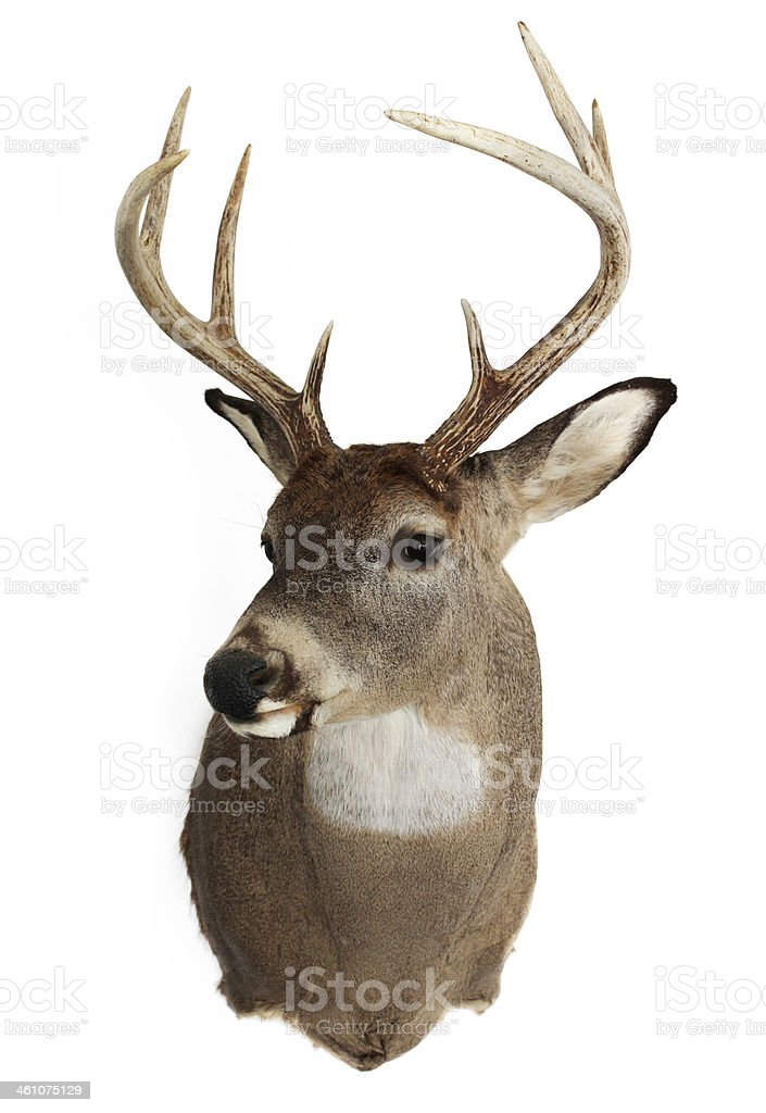 Trophy White-Tailed Deer Buck stock photo