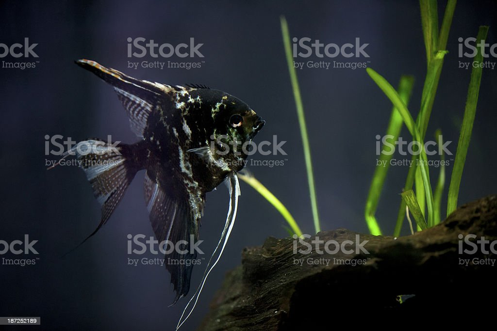 Tropic fish in a tank royalty-free stock photo