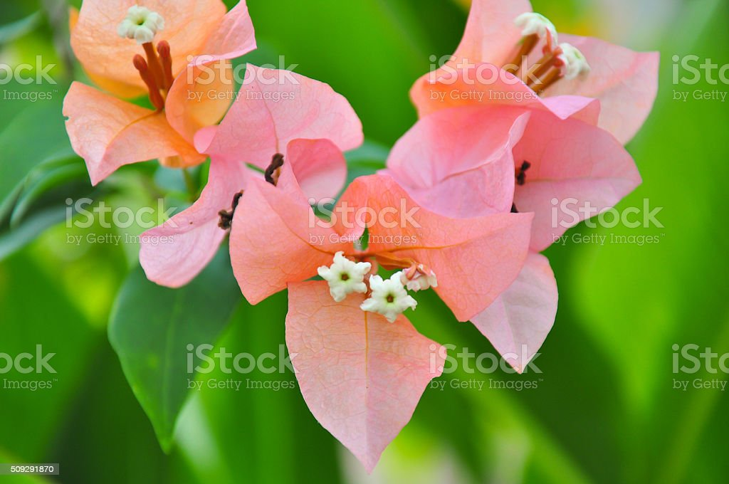 tropic rosa stock photo