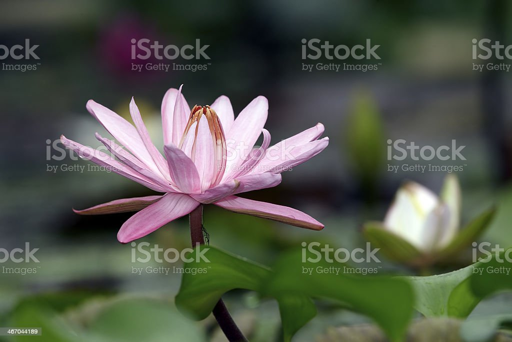 Tropic water  lily royalty-free stock photo