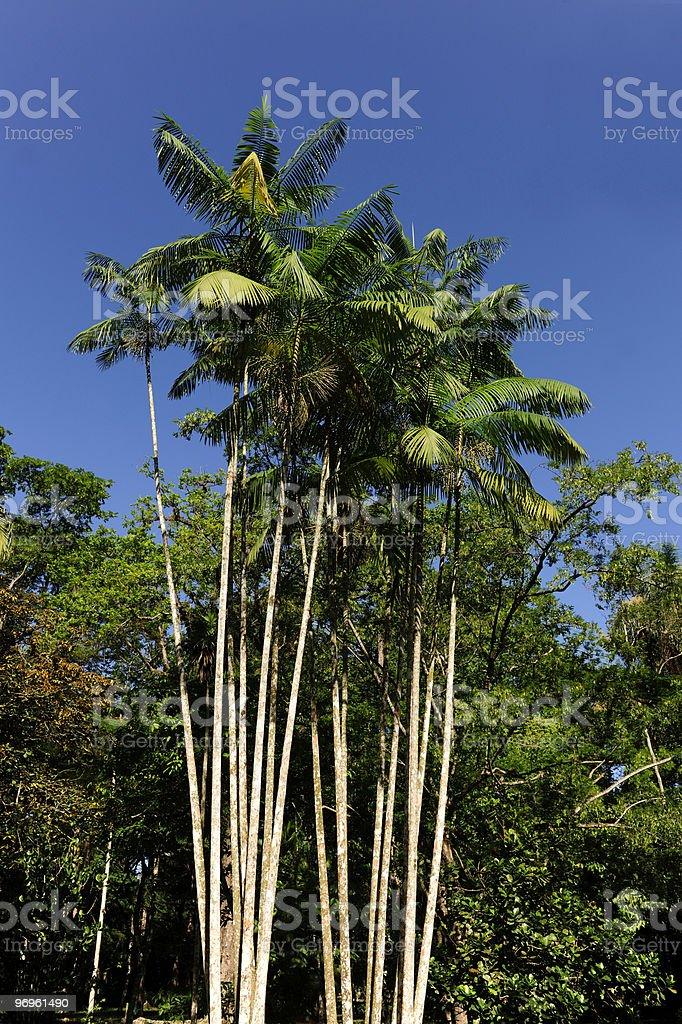 Tropical acai palm royalty-free stock photo