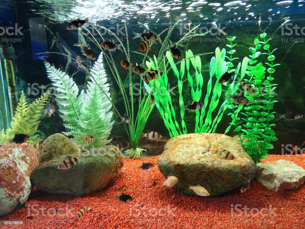 Fish for natural aquarium - Tropical Aquarium Fish Tank Image Plastic Plants Gravel Tiger Barbs Royalty Free