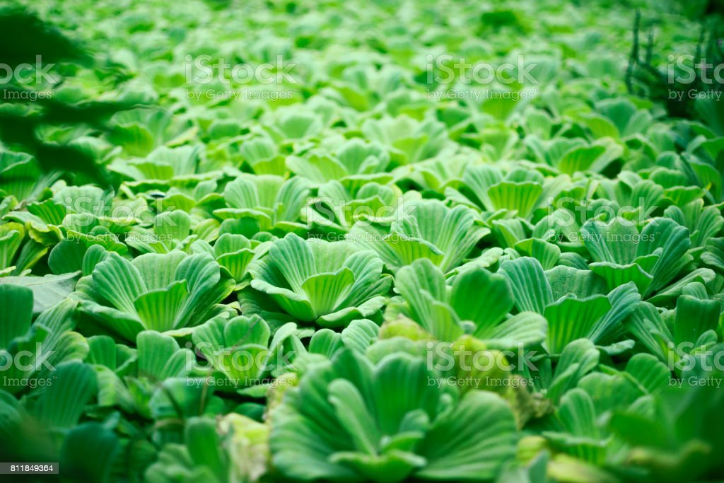 Tropical aquatic, water lettuce, green water plant, tropical greenery, pistia stratiotes tropical nature background stock photo