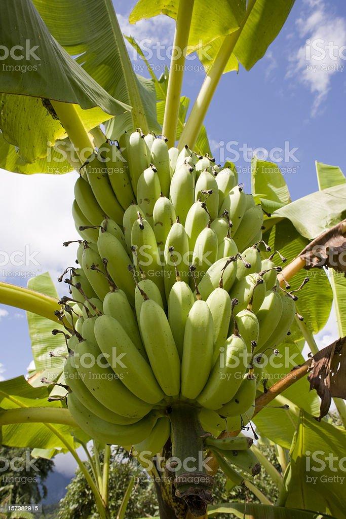 Tropical Bananas. stock photo