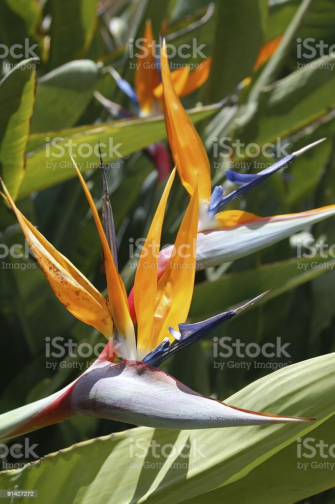 Tropical Beauty royalty-free stock photo