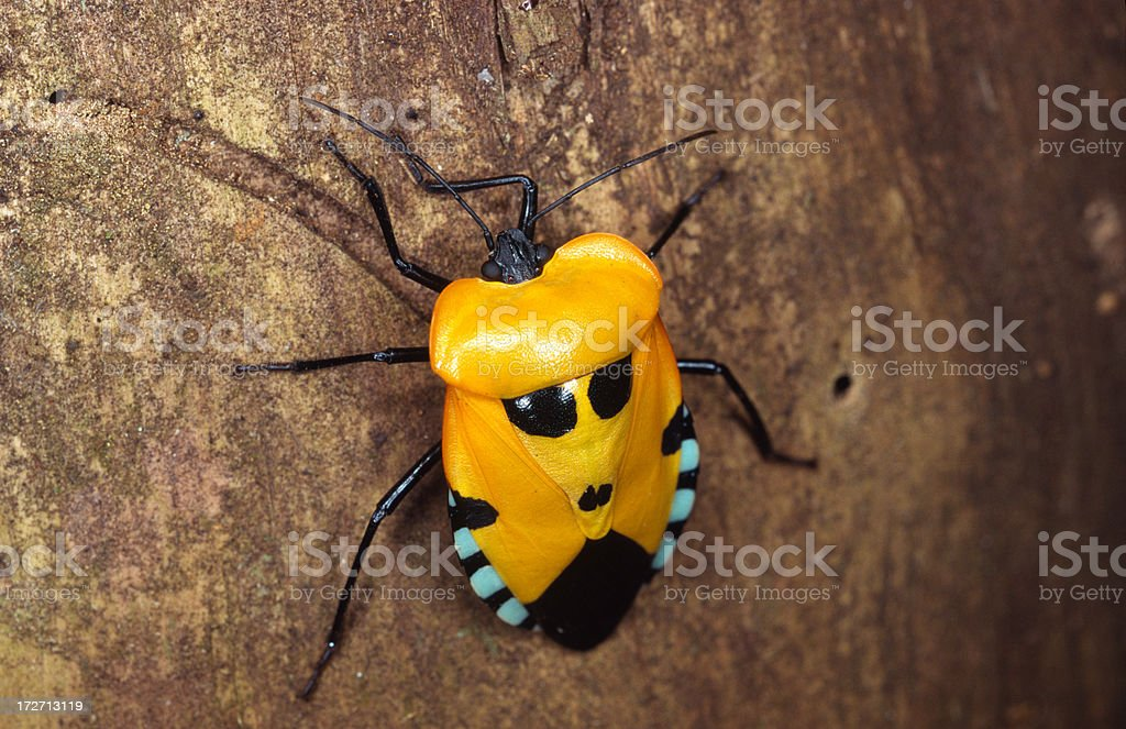 Tropical beetle royalty-free stock photo