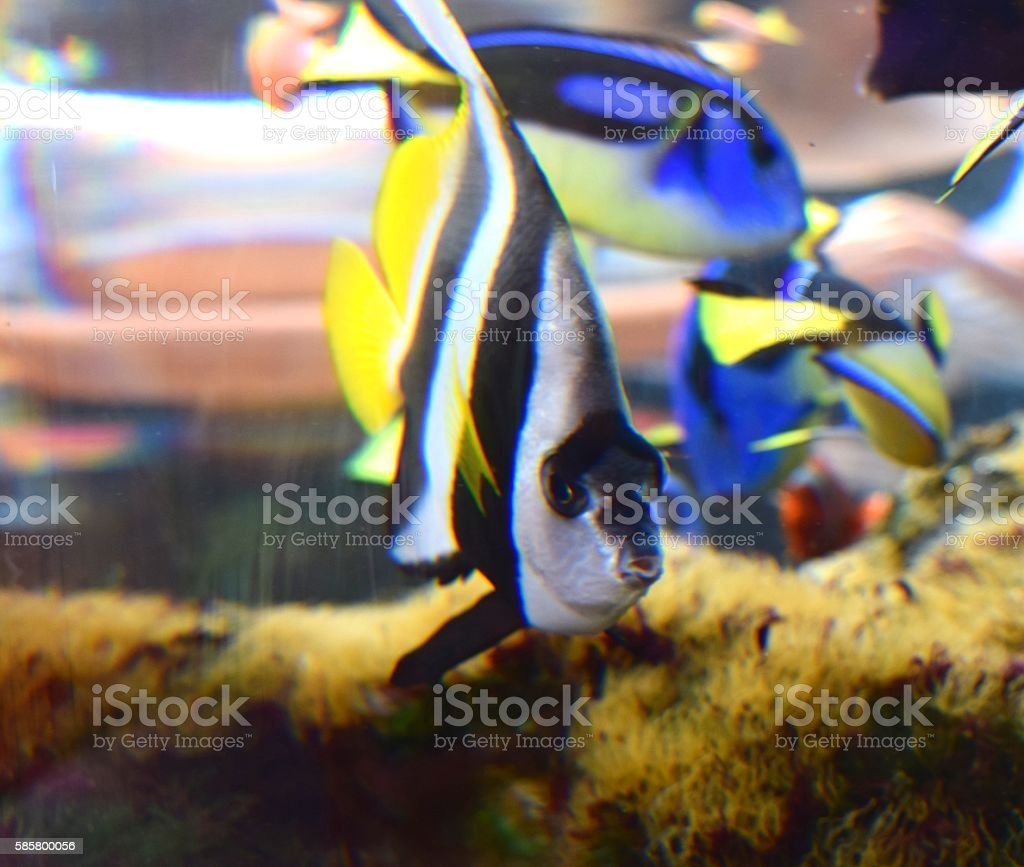tropical black and white moorish idol pennant coralfish fish tank stock photo