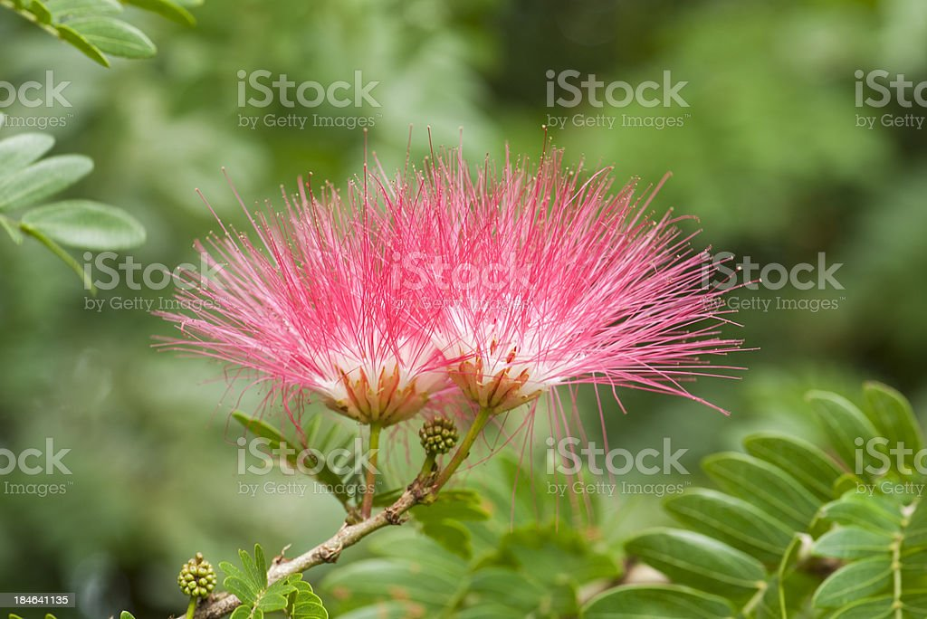 Tropical Blooming Tree stock photo