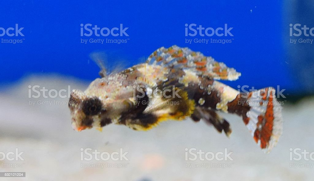tropical brittle orange stonefish stock photo