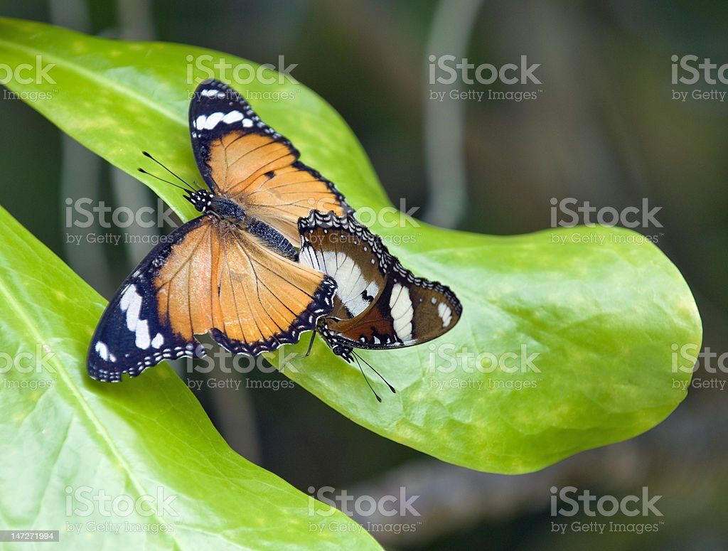 Tropical butterfles mating stock photo