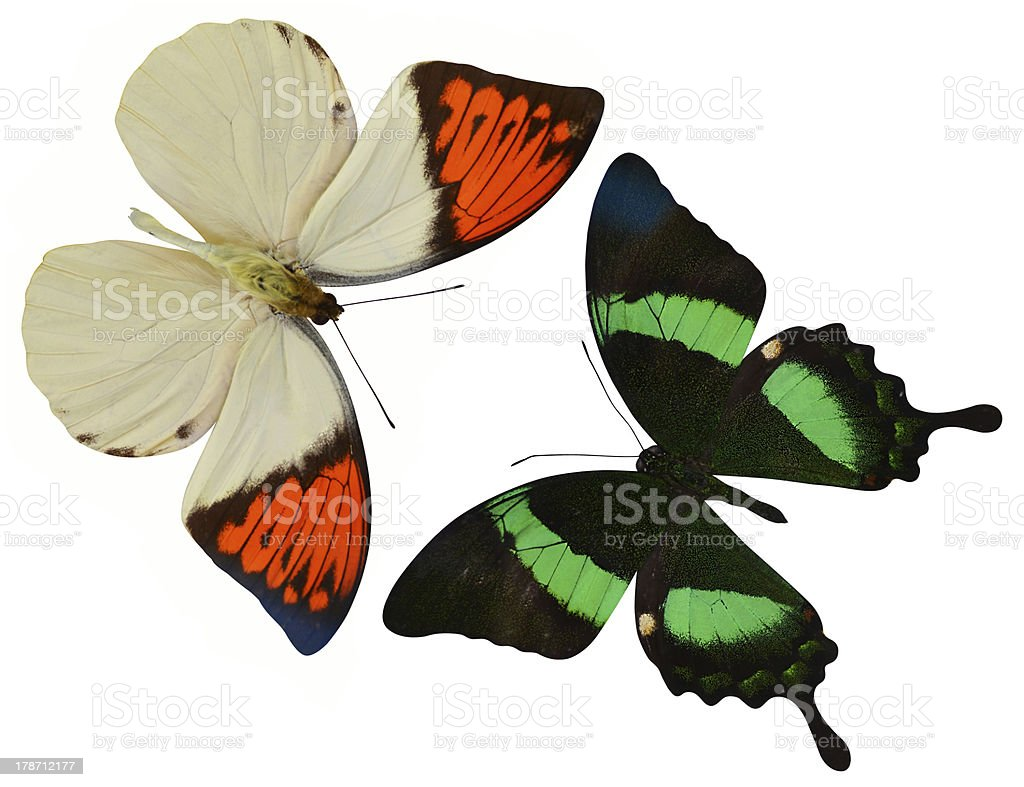 tropical butterflies insects isolated on white background stock photo