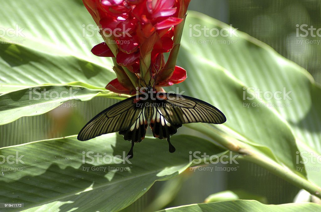 Tropical Butterfly 1 royalty-free stock photo