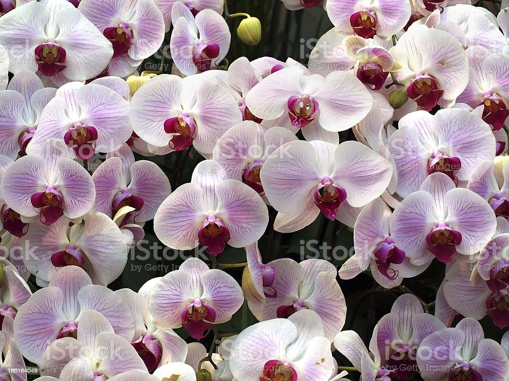 Tropical Butterfly Orchids stock photo