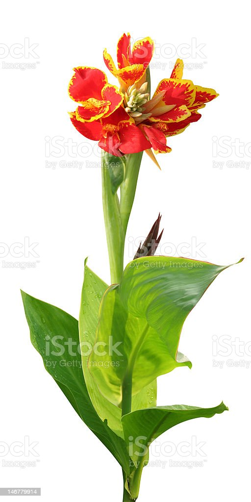 Tropical canna lily on white stock photo